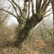 Les arbres têtards, encore des arbres ?
